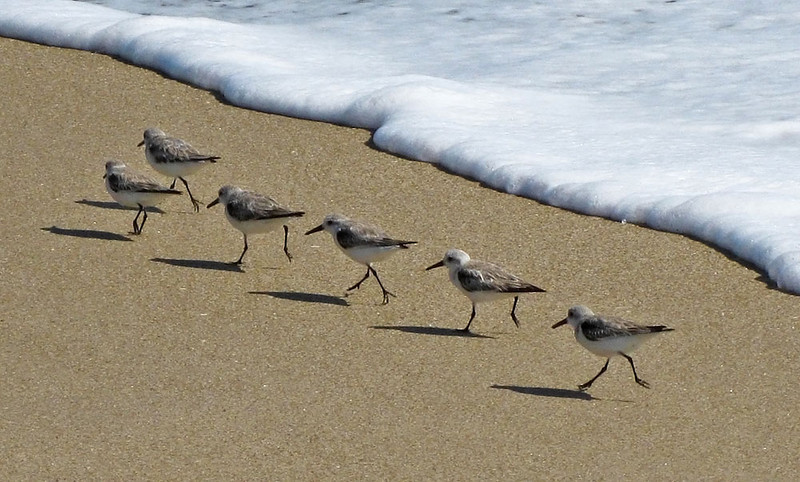 Sanderlings at Surf's Edge