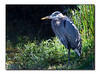 Great Blue Heron (93195563)