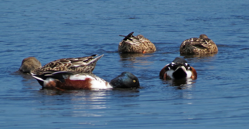 Male and female Northern Shovelers feeding at Merritt Island NWR, Florida