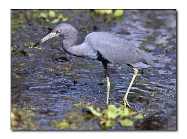 Little Blue Heron (92558922)