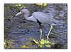 Little Blue Heron (92558922)