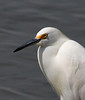 Snowy Egret at Brigantine NWR, NJ