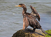 Double Crested Cormorant - Drying Off