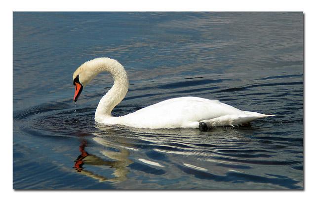 Mute Swan II ltbrgtIMG_4255w (33561906)