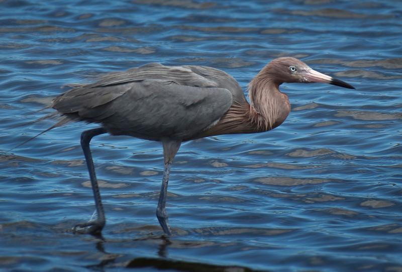 Reddish Egret at Merritt Island NWR, Florida