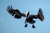 pelican-502