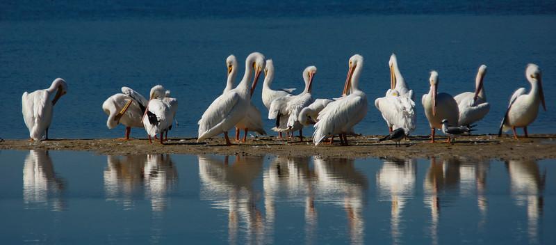 White Pelicans at J.N. Ding Darling NWR, Sanibel Island, Florida