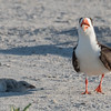 Black Skimmer and supplicant chick at Nickerson Beach
