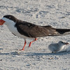 Black Skimmer and chick at Nickerson Beach
