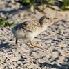 Balc Skimmer Chick
