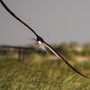 Flying Black Skimmer at Nickerson Beach