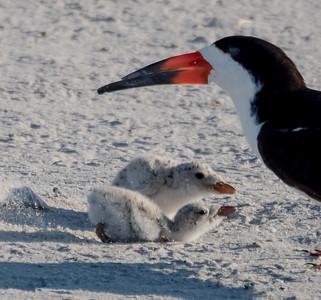 Shorebirds- August 2015