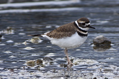Killdeer at the John Wayne Marina in Sequim, Washington.