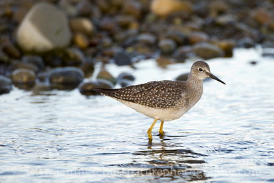 Lesser Yellowlegs at Belfair State Park near Belfair, Washington.