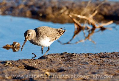 Dunlin in non-breeding plumage.  Photo taken on the shore of Chico Bay near Bremerton, Washington.