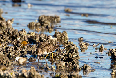 Least Sandpiper in non-breeding plumage, showing its ability to blend in with its surroundings.  Photo taken on the shore of Chico Bay near Bremerton, Washington.