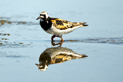 Ruddy Turnstone in breeding plumage.  Photo taken at Bottle Beach State Park near Ocosta, Washington.