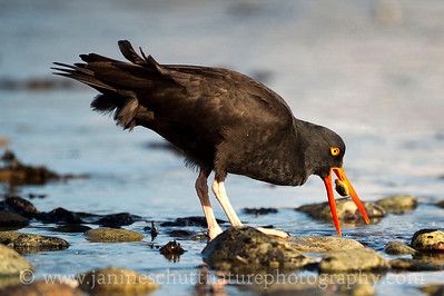 Black Oystercatcher feeding at Fort Flagler State Park near Port Townsend, Washington.  This photo won Honorable Mention in the Wildlife Category of the 2013 Tacoma Nature Center Photo Contest.