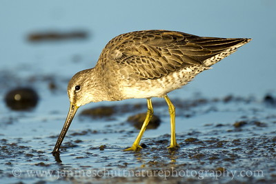 Long-billed Dowitcher foraging along the shoreline of Soap Lake in Grant County, Washington.