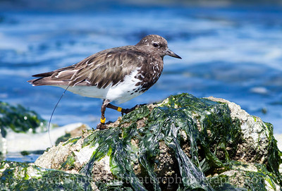 Banded Black Turnstone carrying a radio transmitter.  Photo taken at Fort Flagler State Park near Port Townsend, Washington on August 28, 2011.