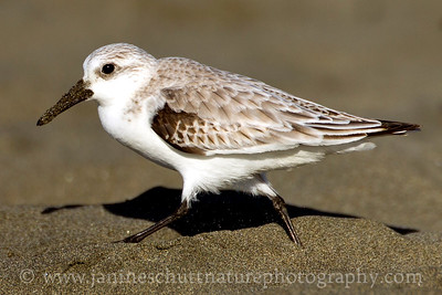Sanderling in non-breeding plumage.  Photo taken at Westhaven State Park in Westport, Washington.