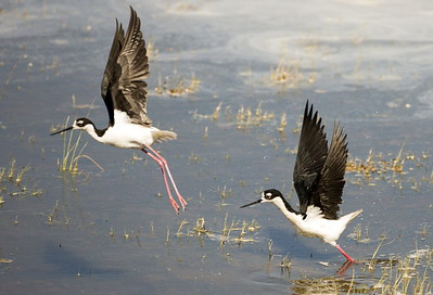 Black-necked Stilts.  Photo taken by the County Line Ponds near Othello, Washington.