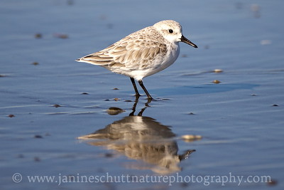 Sanderling in non-breeding plumage.  Photo taken at Grayland Beach State Park in Grayland, Washington.