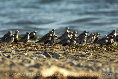 Mid-summer flock of Black-bellied Plovers.  Photo taken at Fort Flagler State Park near Port Townsend, Washington.