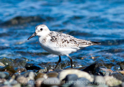 Sanderling in non-breeding plumage at Norwegian Point County Park in Hansville, Washington.