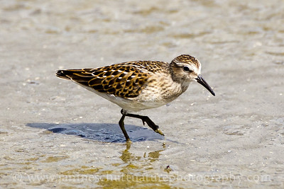 Least Sandpiper at Theler Wetlands in Belfair, Washington.