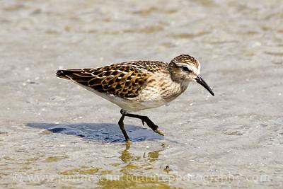 Least Sandpiper at Theler Wetlands in Belfair, Washington.