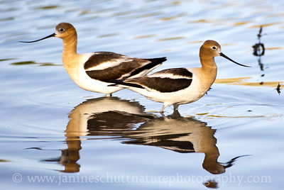 American Avocets at Swallows Park in Clarkston, Washington.