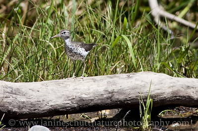 Spotted Sandpiper in breeding plumage.  Photo taken near Winthrop, Washington.