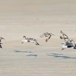 Black-bellied Plovers (Pluvialis squatarola) in flight