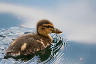 Duckling, Sunnyvale