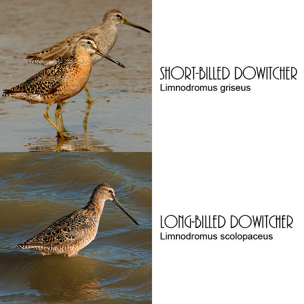 Comparison of short-billed and long-billed dowitchers