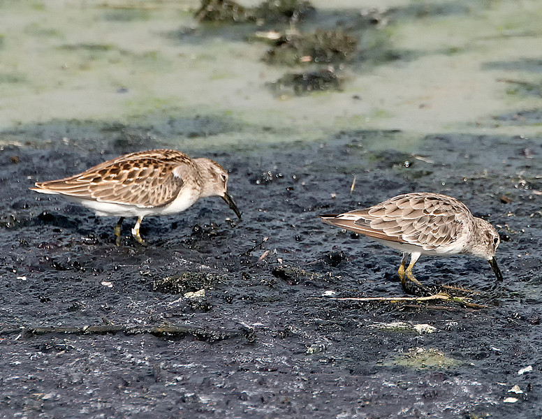 Least sandpipers (Calidris minutilla), Austin, Texas, 2013. The bird on the left is a juvenile, and the bird on the right is an adult molting into basic plumage.