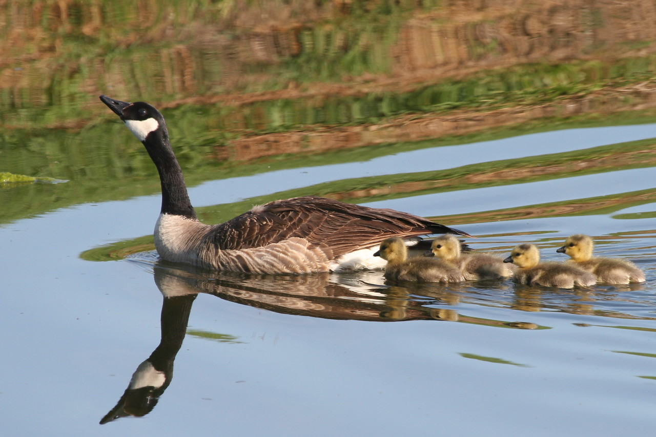 Goose and Goslings, Palo Alto Golf Course