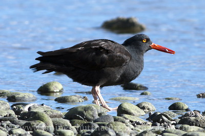 Black Oystercatcher at the John Wayne Marina in Sequim, Washington.