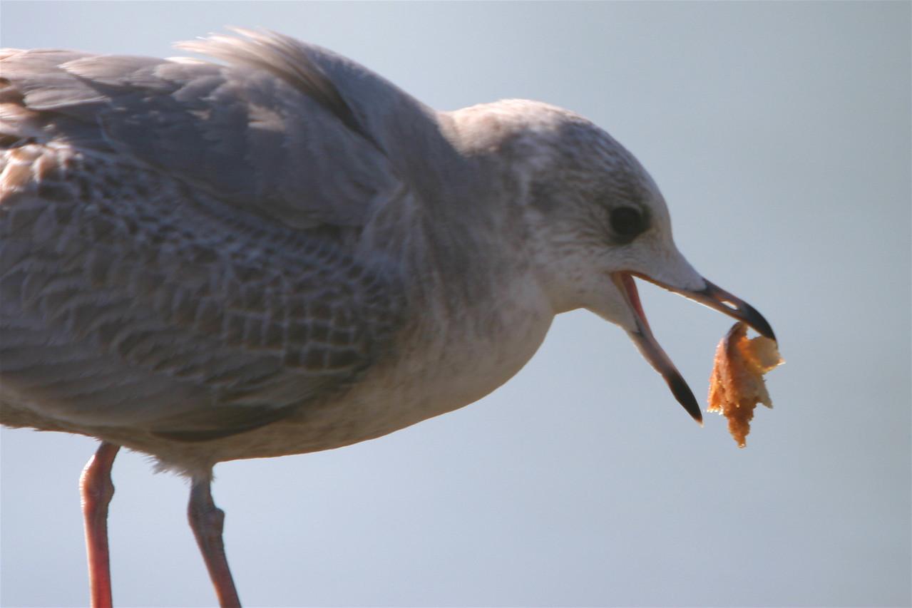 Gull, Palo Alto Baylands (Duck Pond)