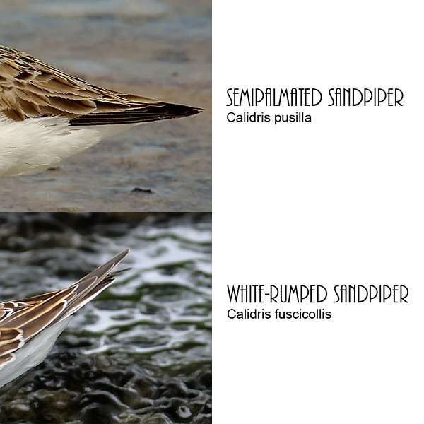 Comparison of Calidris wing lengths