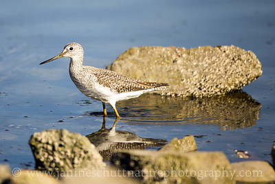 Greater Yellowlegs at Old Mill Park in Silverdale, Washington.