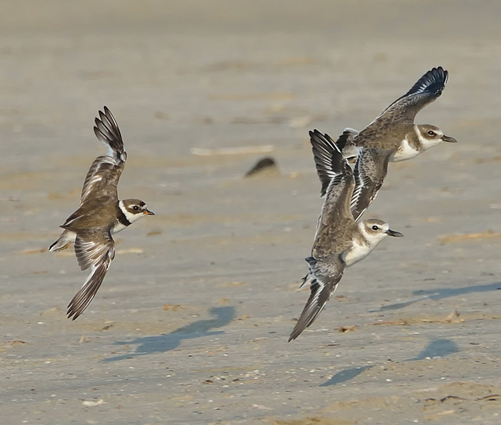 Wilson's Plover (Charadrius wilsonia) with semipalmated plover