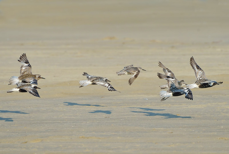 Red knot (Calidris canutus) with grey plovers, Galveston, Texas
