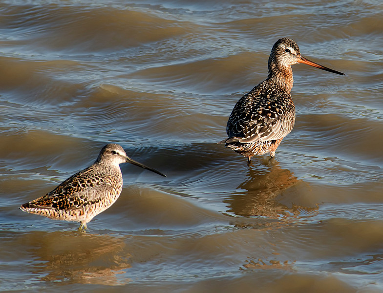 Hudsonian godwit (Limosa haemastica), compared to a long-billed dowitcher (Limnodromus scolopaceus)