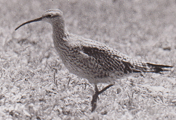 Eskimo curlew (Numenius borealis), photo by Don Bleitz from Texas in 1962