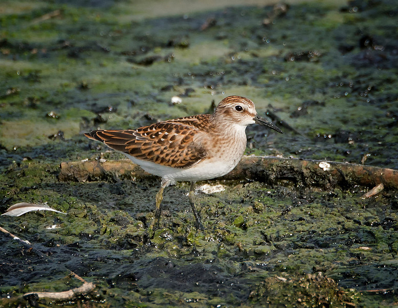 Least sandpiper (Calidris minutilla), Austin, Texas, 2013. This is a juvenile bird is fresh plumage.