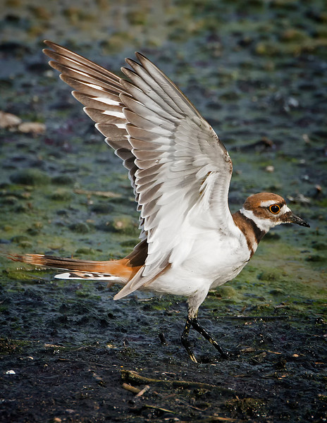 Killdeer (Charadrius vociferus) with wings extended, Austin, Texas, 2013.