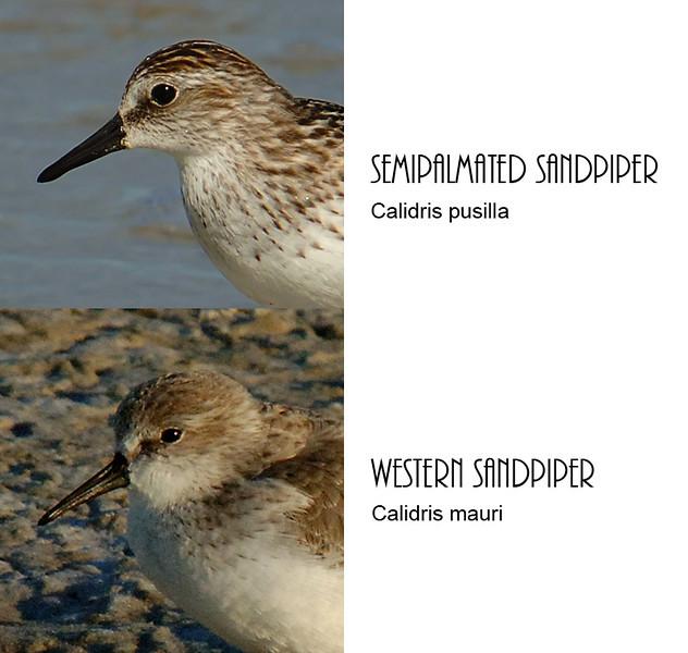 Comparison of semipalmated and western sandpiper bills