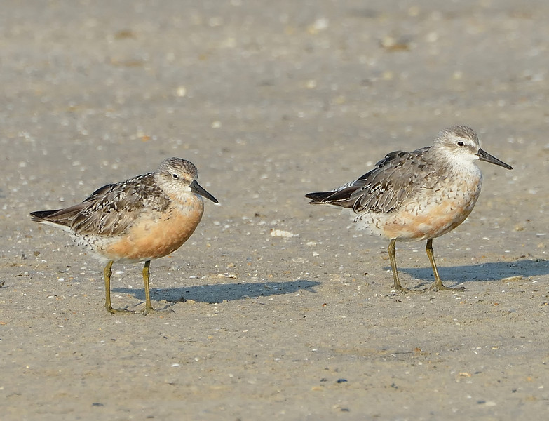 Red knot (Calidris canutus) , Galveston, Texas